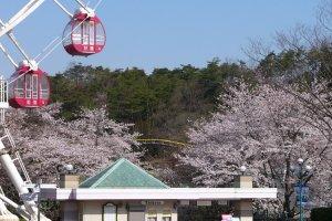 Cherry Blossom at Monkey Park