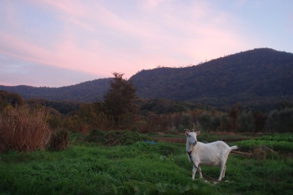 The Goat at our Friends Farm