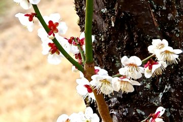 <p>White plum blossoms in&nbsp;the plum tree garden</p>