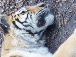 Who dare to wake a sleeping tiger, yes, you're this close to one
