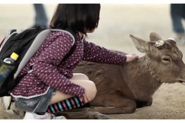 <p>Japanese School Girl Fondling Sika&nbsp;Deer, Nara, Japan</p>
