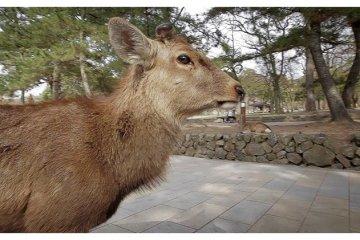 <p>Sika&nbsp;Deer Near Todai-ji&nbsp;Temple, Nara, Japan</p>