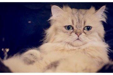 <p>Fluffy Persian Cat in Ikebukuro Cat&nbsp;Cafe, Tokyo, Japan</p>