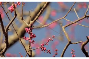 Cherry Blossoms Tenjuan Temple inNanzen-ji, Kyoto, Japan