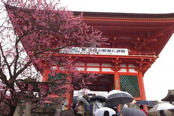 ดอกบ๊วยแดงบานรับฤดูใบไม้ผลิที่หน้าประตูนิโอะ ทางเข้าวัดคิโยมิสุ