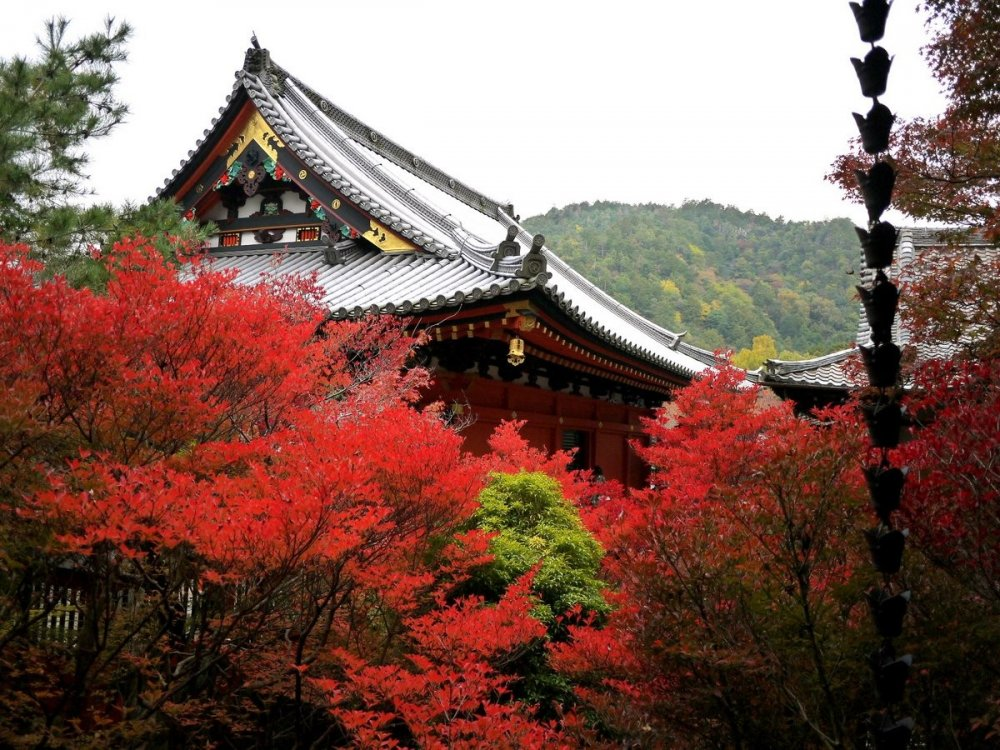 The temple roof rises above a blaze of red maple leaves