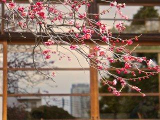 มีห้องรับรองทาทามิสไตล์ญี่ปุ่นดั้งเดิมตั้งอยู่ภายในสวน เปิดให้ประชาชนเข้ามาใช้บริการได้กรณีเสียค่าเข้าชมสวนในอัตราพิเศษ 3,700 เยน เมื่อมองจากภายนอกจะเห็นว่ามีแขกอยู่ภายในห้อง พวกเขาสวมชุดกิโมโนและกำลังร่วมในพิธีชงชา ซึ่งเป็นวัฒนธรรมอันเป็นเอกลักษณ์ของชาวญี่ปุ่น