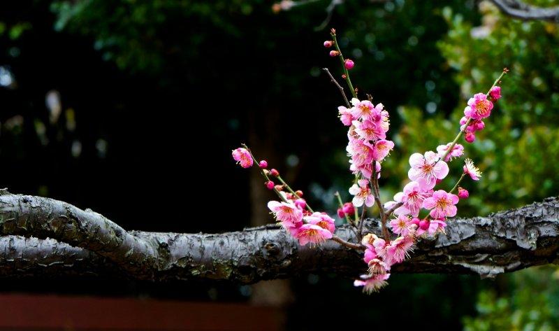 무코지마 백화원은 도쿄 스미다에서 숨겨져 있는 곳이며, 이곳을 찾는 관광들은 비교적 없어 실제로 꽃구경(하나미)을 더 좋게 한다