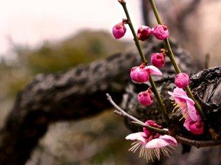 นอกจากต้นบ๊วยแล้ว ในสวนแห่งนี้ยังเต็มไปด้วยไม้ดอกหลากหลายสายพันธุ์ หมุนเวียนกันผลิดอกตลอดสี่ฤดูกาล ภาพนี้เป็นหนึ่งในภาพดอกบ๊วยที่กำลังเบ่งบาน บางส่วนยังเป็นดอกตูมซึ่งจะแย้มกลีบในไม่ช้า สามารถไปชื่นชมความงามกันได้จนถึงราววันที่ 10 มีนาคมของทุกปี