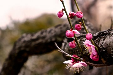 매화 나무를 제외하고도 사계절에 피어 있는 꽃은 많이 있다. 부분적으로 꽃 봉오리 단계에있는 꽃도 한 번 더 와 보면 곧 꽃이 핀다. 꽃은 매년 3월에서 10월경까지 즐길 수 있다