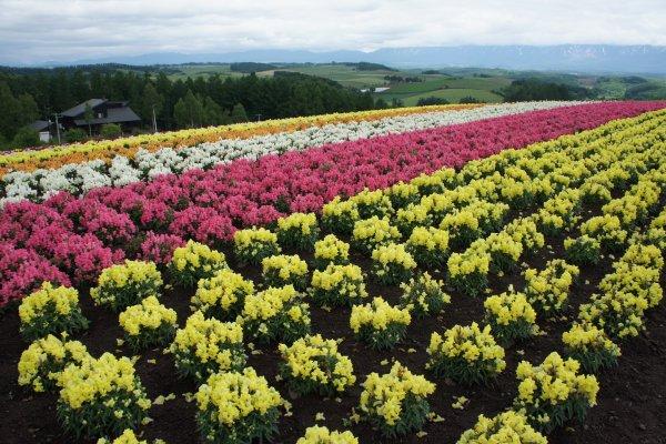 Biei เมืองที่มีวิวท้องทุ่งและดอกไม้ที่สวยงามจนสร้างดาราต้นไม้ที่มีชื่อเสียงโด่งดังขึ้นมา