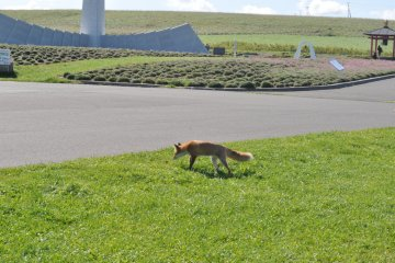 Roaming fox