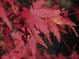 Bright red maple leaves are everywhere.