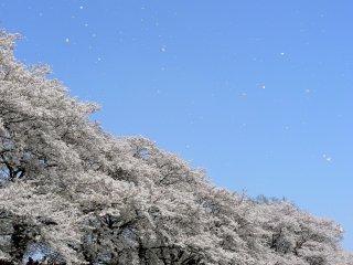 Gió ấm thổi cánh hoa trên bầu trời xanh