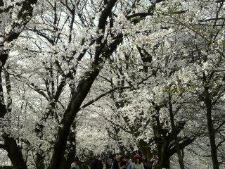 벚나무 양쪽 줄 아래의 오솔길