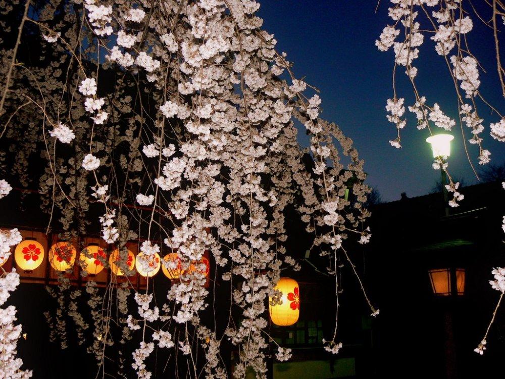 수양벚나무와 등불