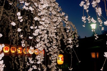 히라노 신사의 봄