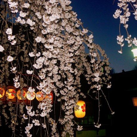 ดอกไม้บานที่ศาลเจ้า Hirano
