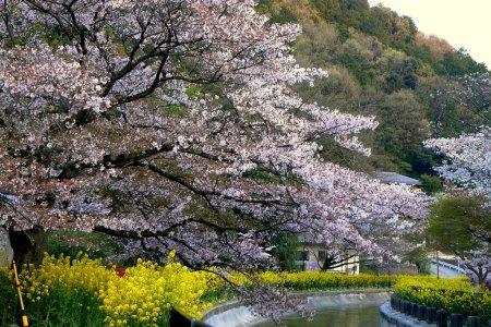 Mùa xuân trên kênh Biwako ở Kyoto