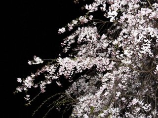 밤하늘에 벚꽃