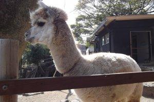 Đứng cạnh hàng rào bao quanh lạc đà Alpaca, và chúng sẽ đến và nói xin chào