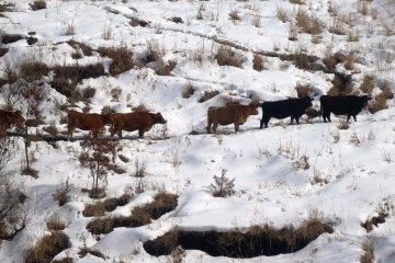 <p>น้องวัวค่อยๆเดินฝ่าหิมะบนที่ราบสูง Aso</p>