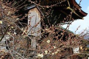 北野天満宮本殿とその脇に咲く梅