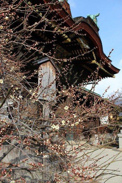<p>Blossoming plum trees next to the&nbsp;Kitano-Tenmangu&nbsp;main shrine</p>