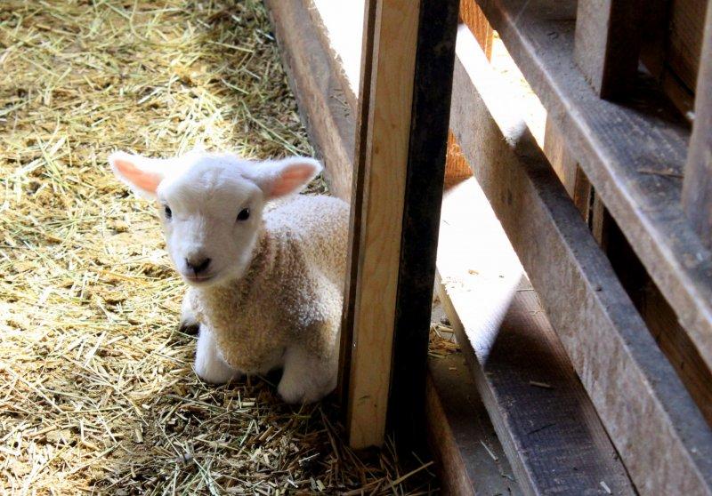 <p>Makaino had a little lamb, little lamb, little lamb. Its fleece was white as snow.</p>