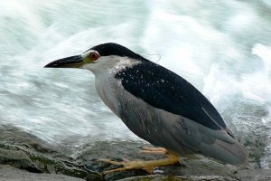 Many species of Herons, like the Night Heron can be found in Kyoto.