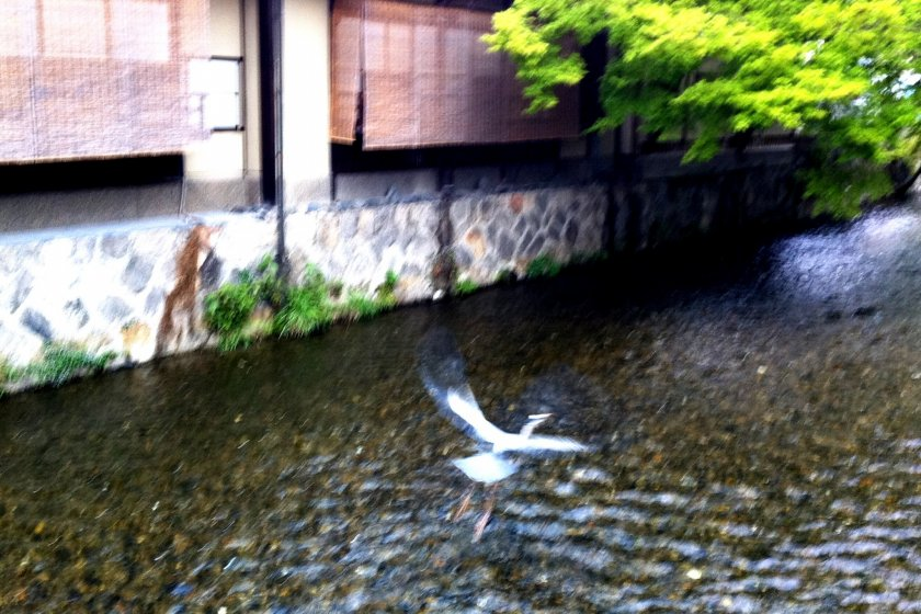 Egrets returning to the canals and streams near Gion and the Kamogawa in Kyoto