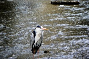Herons of all shapes and sizes can be seen in the rivers and streams near the Kamogawa in Kyoto