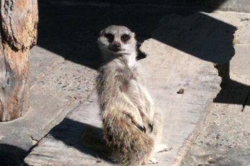 Meerkat...Hakuna matata