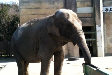 Feeding Fujiko The Elephant