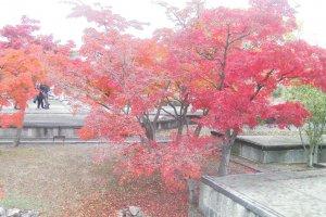 赤穂城の堀を彩るカエデ