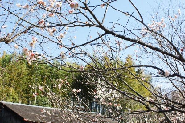 ซากุระกำลังผลิบ้านหน้าบ้านไร่ญี่ปุ่นยุคโบราณที่มาจากหมู่บ้านโทซึกาวะ (Totsukawa Village) แห่ง จ.นาระ (Nara) ทำให้ยามที่เราเดินผ่านบริเวณนี้นั้นอดใจที่จะหยุดแวะนั่งพักชิลๆ ละเมียดกับบรรยากาศดีๆ เสียมิได้