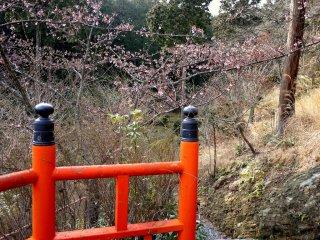 Цветки сливы окружают путь