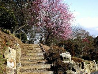 Лестница в сливовый сад