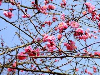 Розовые цветки сливы на фоне голубого неба