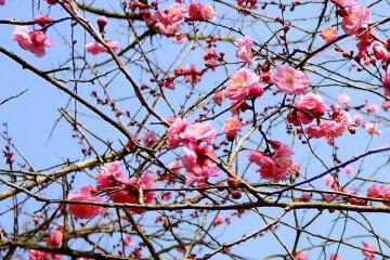 푸른 하늘에 분홍 자두꽃