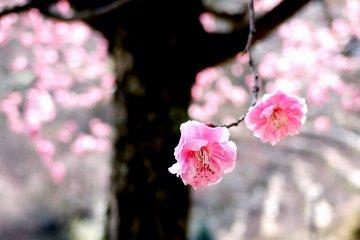 ดอกพลัมบานที่ Ishiyamadera