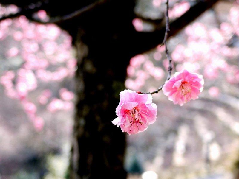 석산사(이시야마데라)의 매화꽃