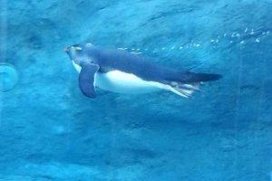 แพนกวินว่ายน้ำในอุโมงค์