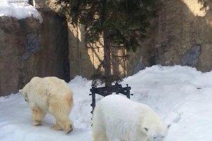 หมีขาวอยู่กันเป็นคู่น่ารักไปอีกแบบ