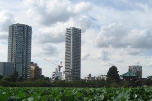 Shinobazu Pond with alien lotus plants in late summer