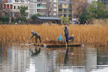 Clearing the dead lotuses from Shinobazu Pond in winter