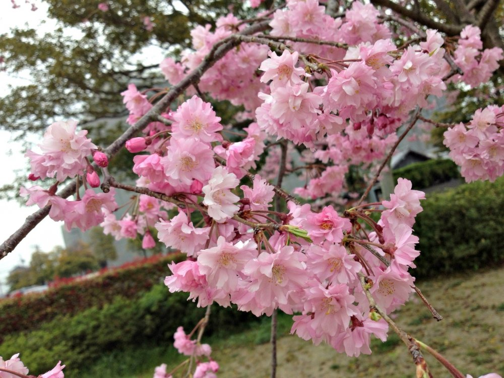 A message of hope from just the sight of this lovely cherry blossom!