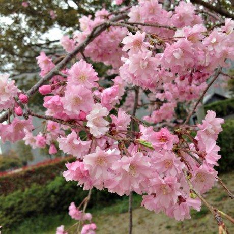 Spring at Miyagawa-Tsutsumi Park