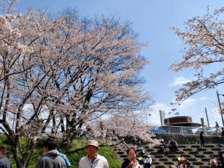 Strolling through the sakura park on a bright day