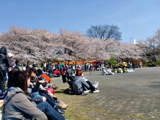 Enjoying this friendship day underneath the sakura